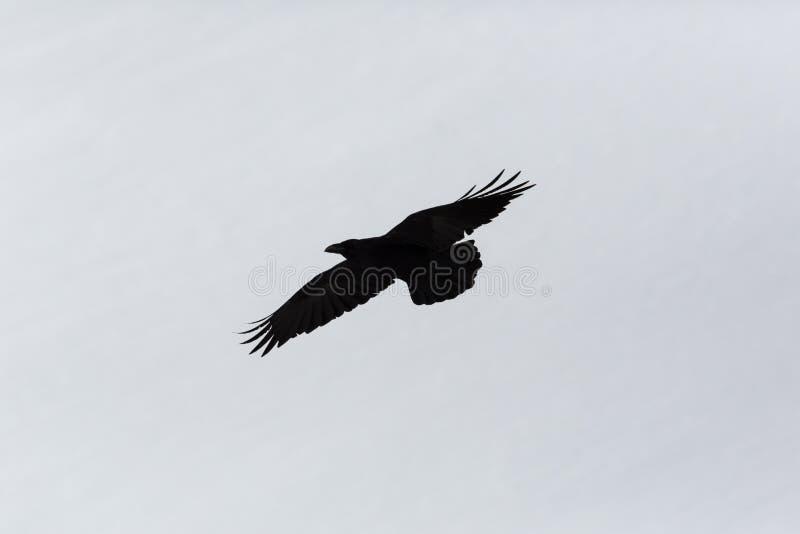 Kontur av nordlig korpsvart corvuscorax i flykten, vitbac arkivbilder