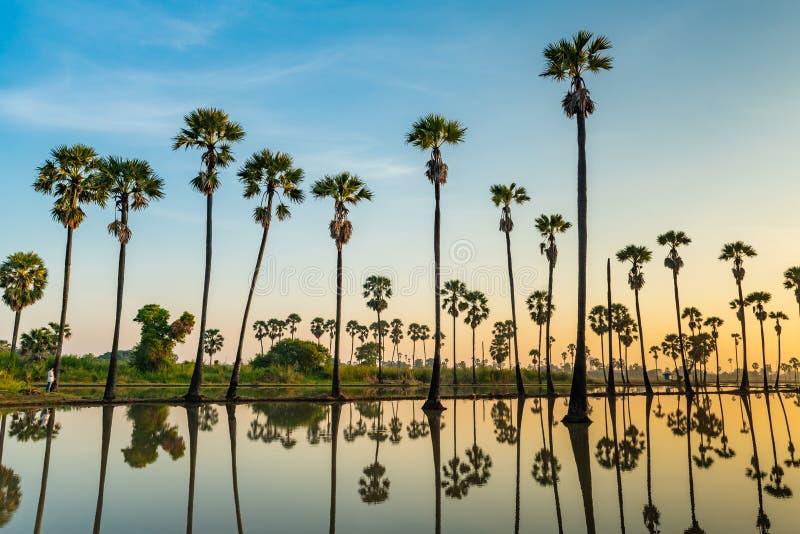 Kontur av palmyrapalmträd och deras reflexioner royaltyfria foton