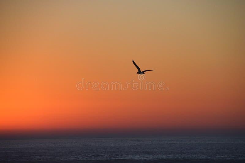 Kontur av seagullen i flykten på solnedgången arkivfoton