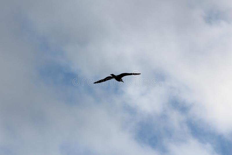 Kontur av seagullen som flyger fridfullt med fullständigt öppna vingar på bakgrund för molnig himmel arkivfoton