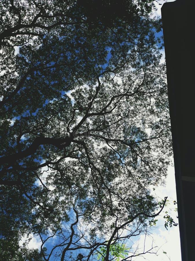 Kontur av sidor och filialer av akaciaträdet i Filippinerna arkivbild