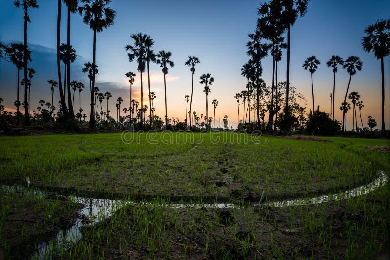 Kontur av sockerpalmträdet på risfält i Thailand arkivfoto