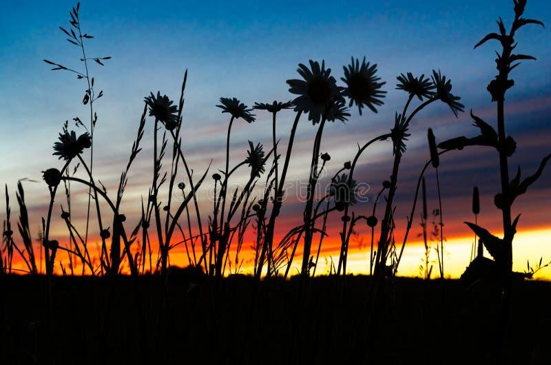 Kontur av vildblommor på solnedgången fotografering för bildbyråer