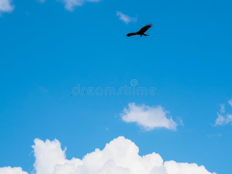 Kontur för flyg för vinge för fågel för gulbrun örn fördelande i blåtten sk arkivbild