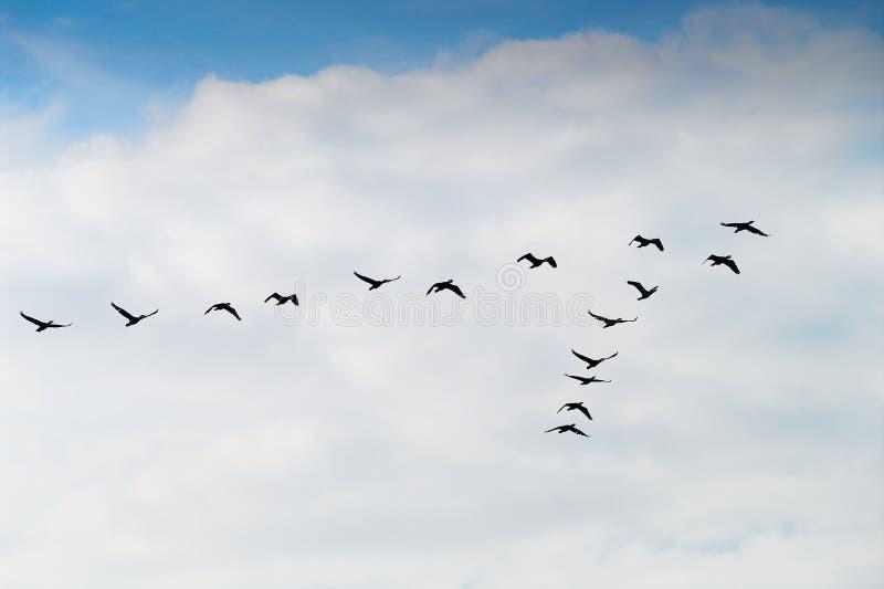 Kontur för grupp för kormoranPhalacrocoraxcarbo som flyger högt upp i ett v-bildande mot den molniga himlen Begrepp för fågelflyt arkivfoton