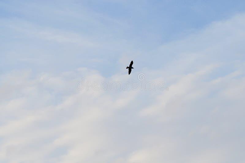 Kontur    sikt   av ett seagullflyg i den blåa himlen royaltyfri bild