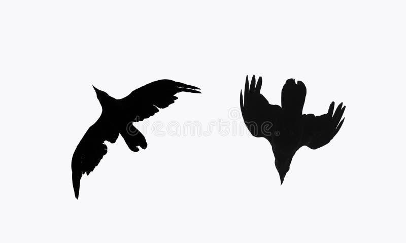 Kontur två av ett svart galandefågelflyg mot en vit isola arkivbilder