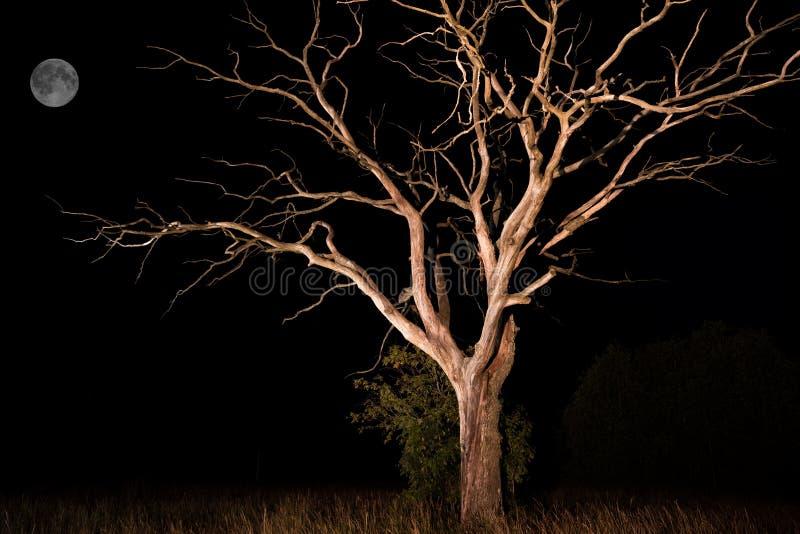 Konturer av det torra trädet mot natthimmel och den ljusa månen arkivfoto