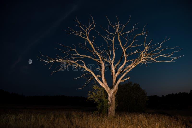 Konturer av det torra trädet mot natthimmel och den ljusa månen royaltyfri fotografi