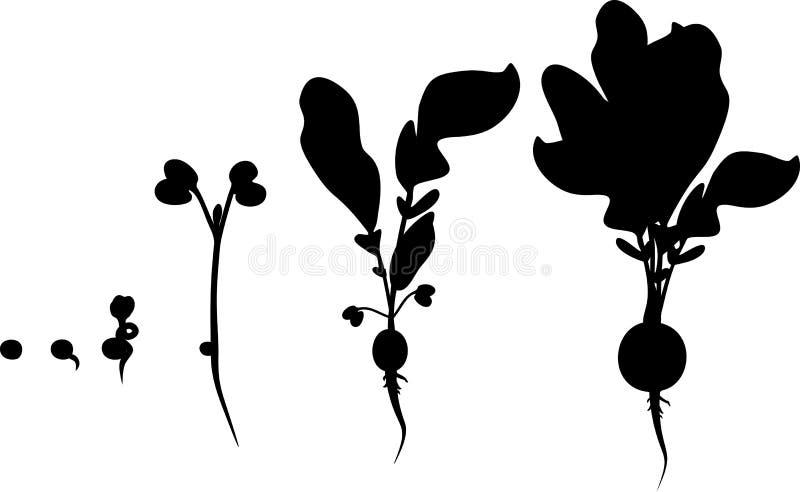 Konturer av etapper av rädisatillväxt från kärnar ur och spirar för att skörda stock illustrationer