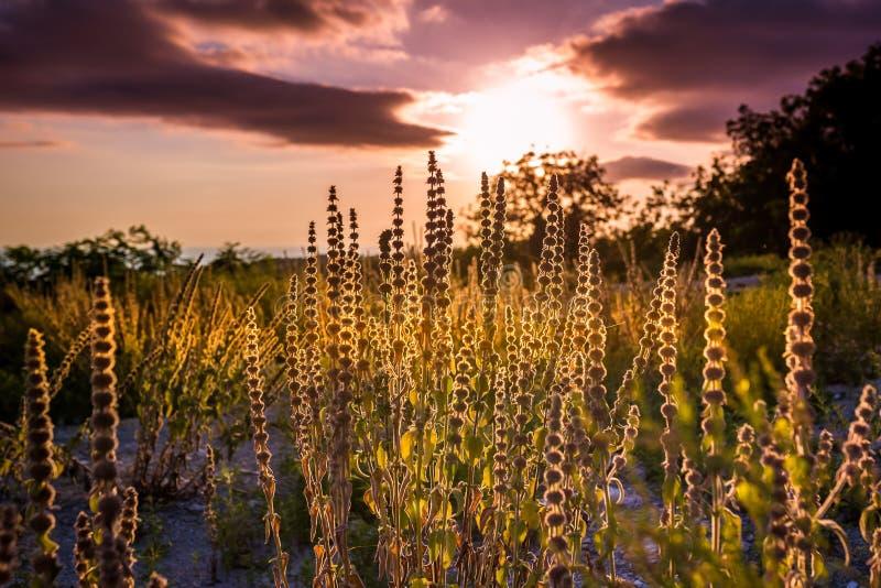 Konturer av fältväxter mot bakgrunden av en purpurfärgad himmel och mörkermoln på solnedgången fotografering för bildbyråer
