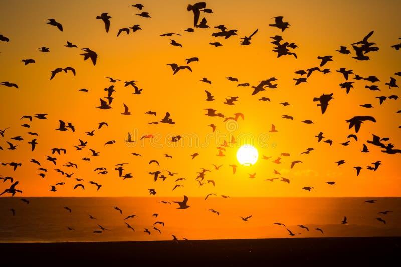 Konturer av flockar av fåglar och en spektakulär havssolnedgång arkivfoto