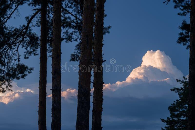Konturer av sörjer mot bakgrunden av en blå aftonhimmel med moln Afton i pinjeskogen royaltyfria foton