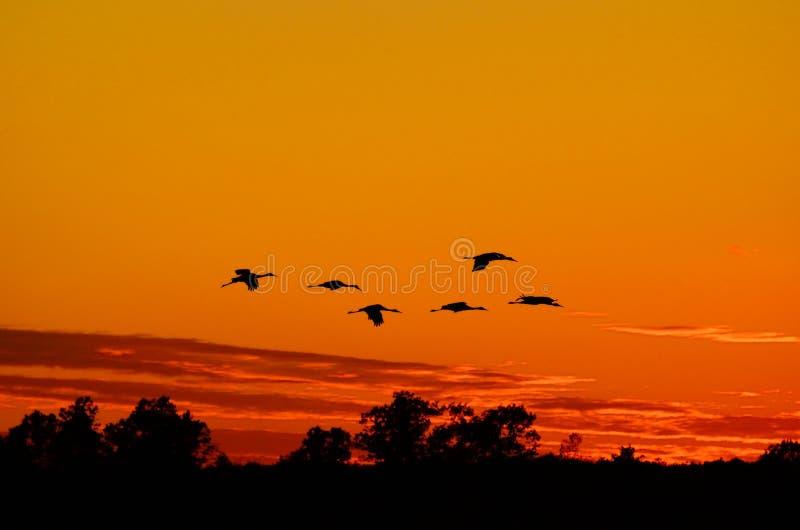 Konturer av Sandhill sträcker på halsen flyg på solnedgången royaltyfria foton