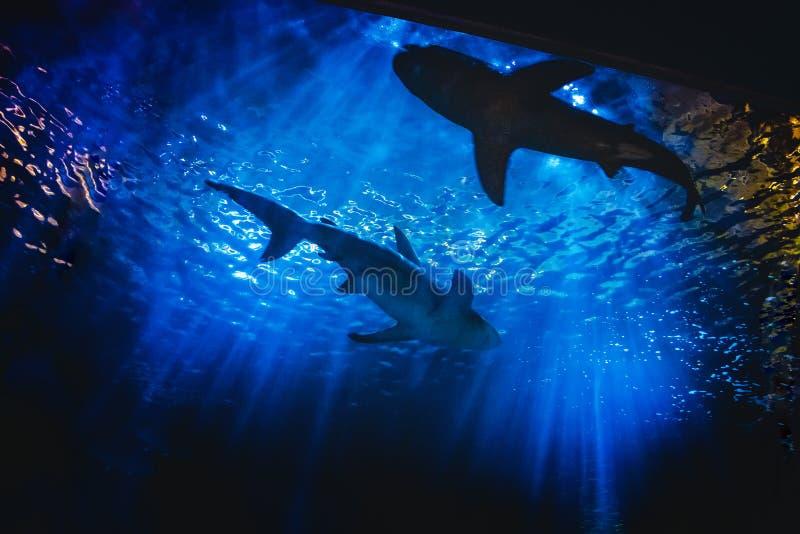 Konturer av små vita hajar som simmar i djupblå akvariumbehållare arkivfoton