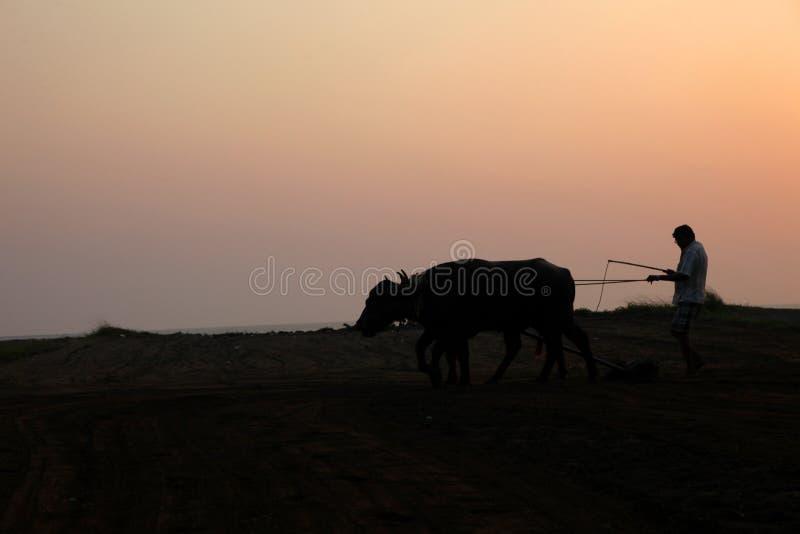 Konturn av en bonde plogar hans fält med ett par av buffeln i förberedelse som planterar i Indien arkivfoton