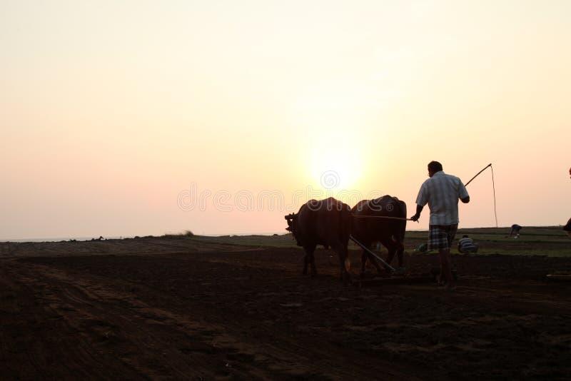 Konturn av en bonde plogar hans fält med ett par av buffeln i förberedelse som planterar i Indien royaltyfria foton