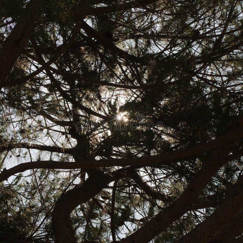 Konturn av många sörjer träd, med bakgrunden av solens strålar som bildar en stjärna royaltyfri fotografi