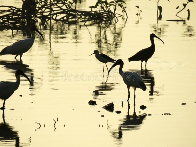 Konturn av några fåglar fångade i västra Indien arkivfoto