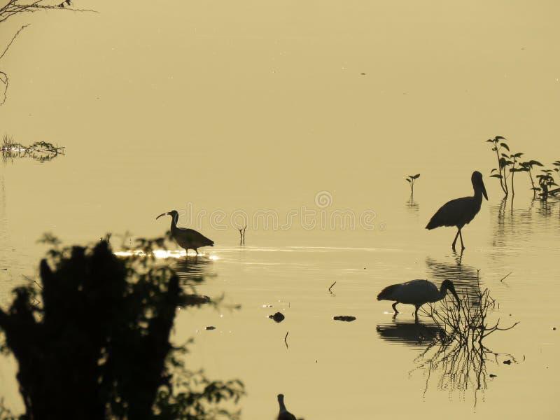 Konturn av några fåglar fångade i västra Indien arkivbild