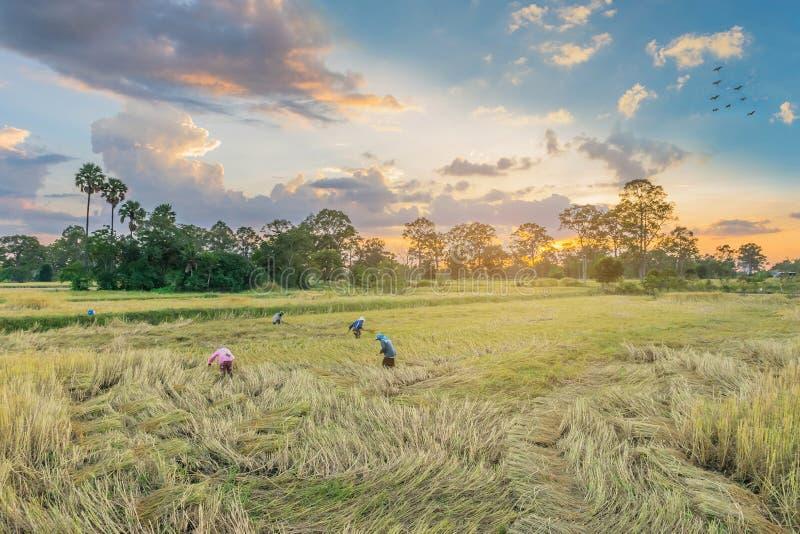 Konturn av solnedgången med mogna bruna råris, forntida bondeövning till att skörda bruna råris kärnar ur, royaltyfri bild