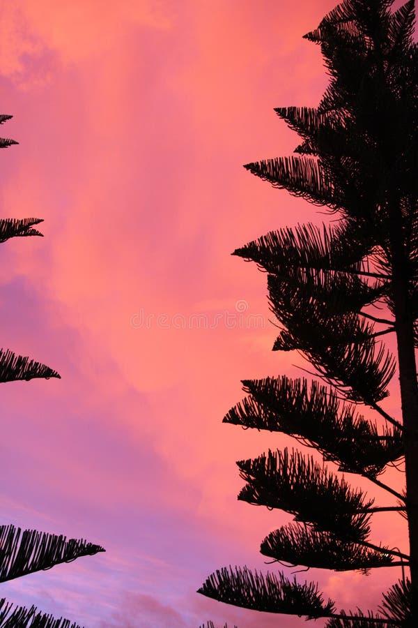 Konturn av svarta Norfolk sörjer kronan för trädAraucariaheterophyllaen som kontrasterar med rosa och röd brinnande himmel under  royaltyfria foton