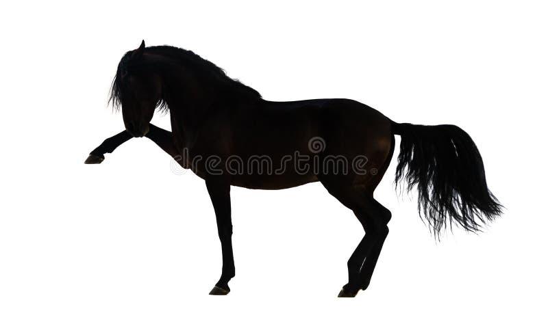 Konturn av utförande spanjor för en Andalusian häst går royaltyfri bild