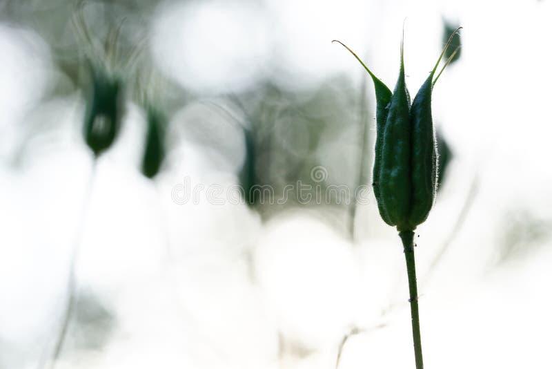 Konturranunculaceaefamilj - vulgaris aquilegia, frö i fröskidor Över ljus oskarp bakgrund fotografering för bildbyråer