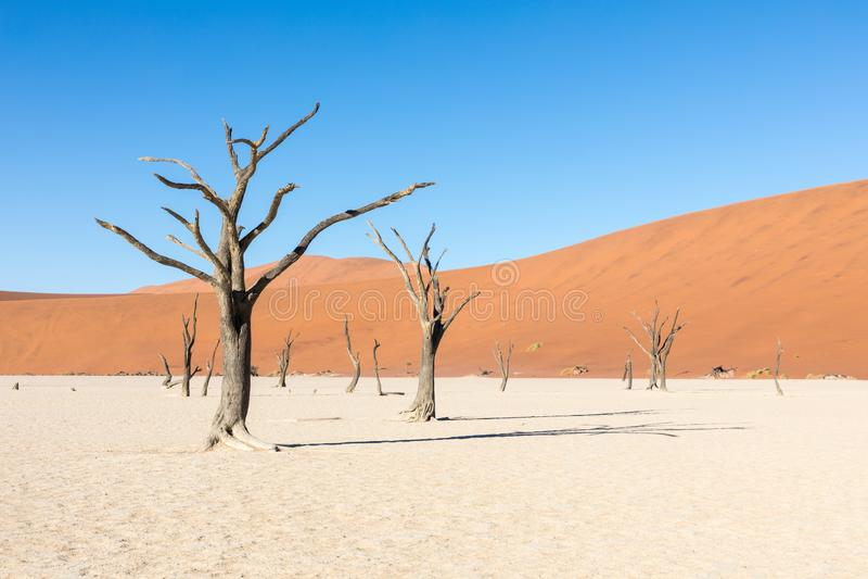 Konturstående av det döda trädet i deadvleien, Sossusvlei, Namib Naukluft nationalpark Namibia royaltyfri foto