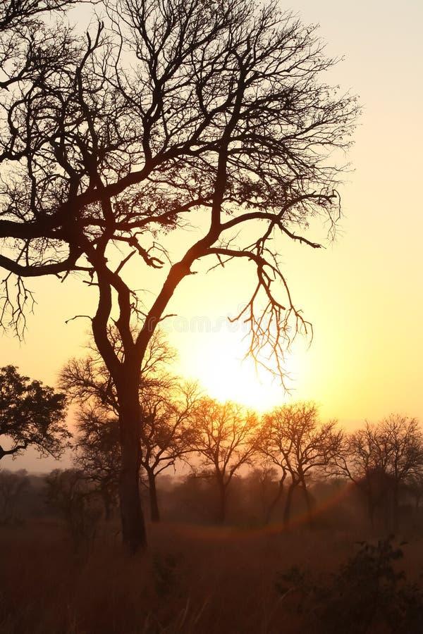 Konturträd på solnedgången på safari i söder - afrikan royaltyfria foton