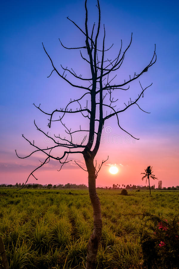 Konturträdsingel i sockerrörfält på skymning royaltyfria foton
