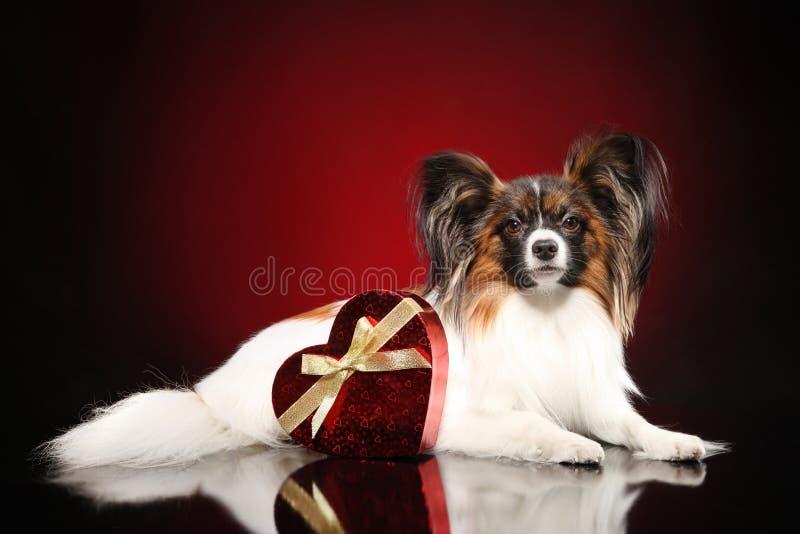 Kontynentalny zabawkarskiego spaniela pies z czerwonym walentynki sercem obrazy royalty free
