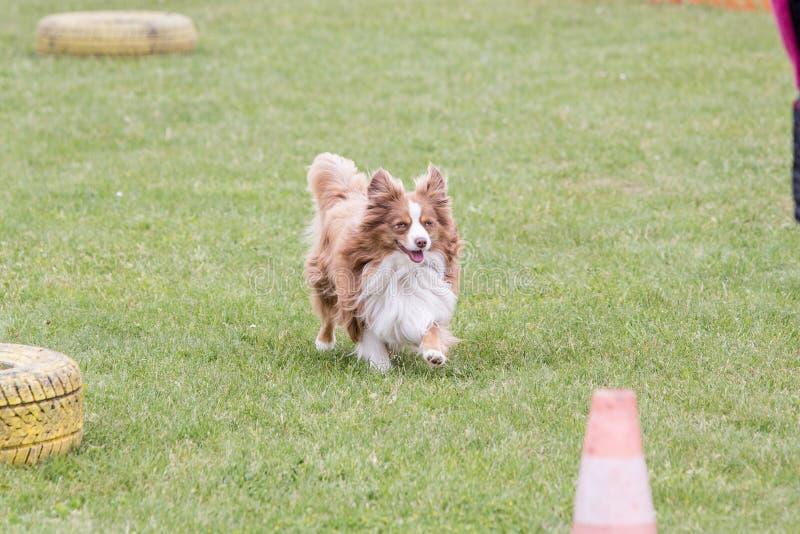 Kontynentalny Zabawkarskiego spaniela psa utrzymanie w Belgium zdjęcia stock