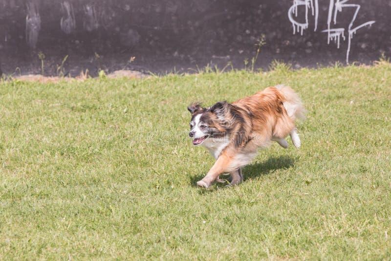 Kontynentalny Zabawkarskiego spaniela psa utrzymanie w Belgium zdjęcia royalty free