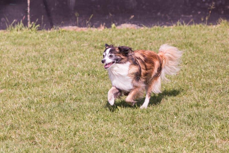 Kontynentalny Zabawkarskiego spaniela psa utrzymanie w Belgium fotografia stock