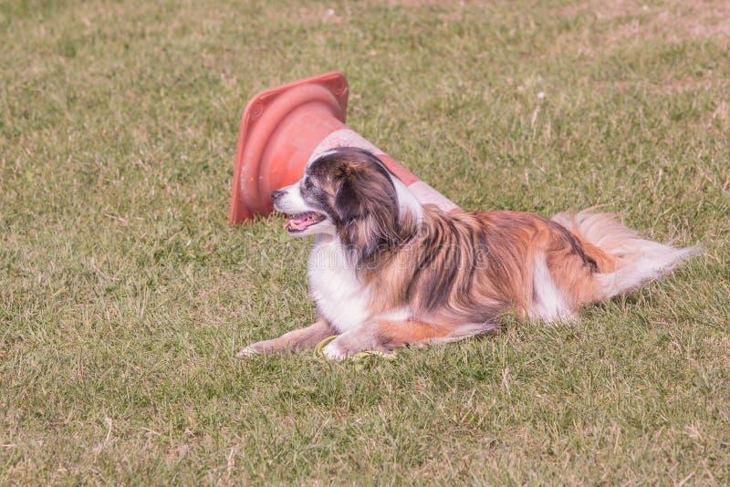 Kontynentalny Zabawkarskiego spaniela psa utrzymanie w Belgium zdjęcie stock
