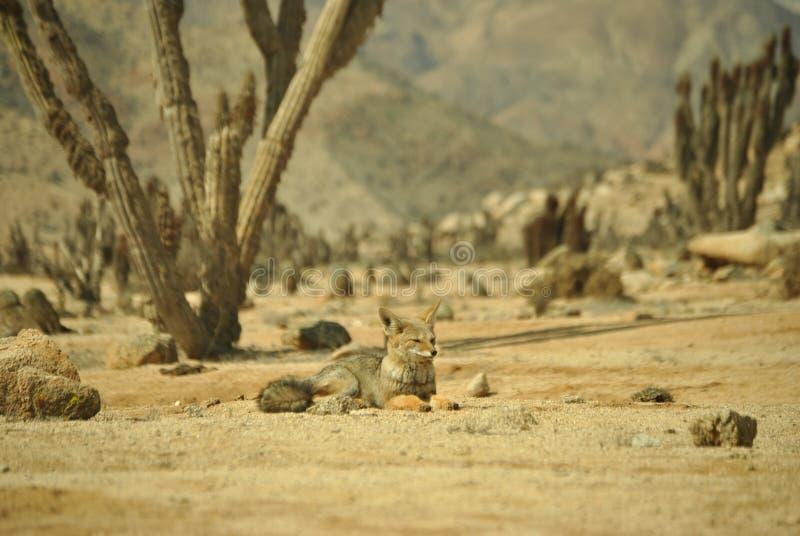 Konung av öknen fotografering för bildbyråer