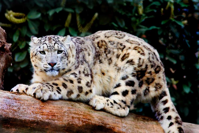 Konung av jaguar royaltyfri bild