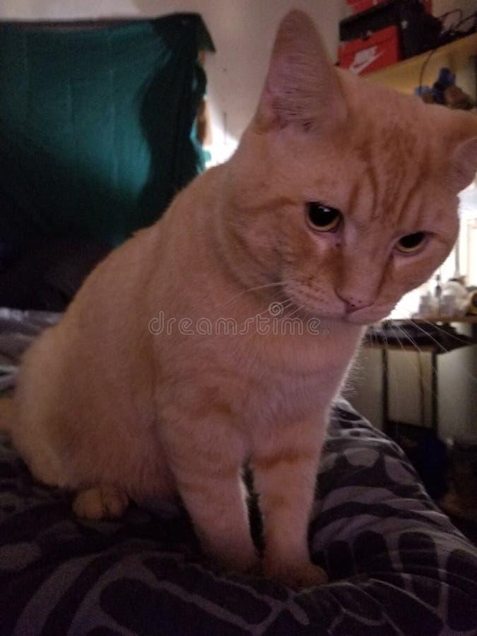 Konung Cat Thomas arkivfoton