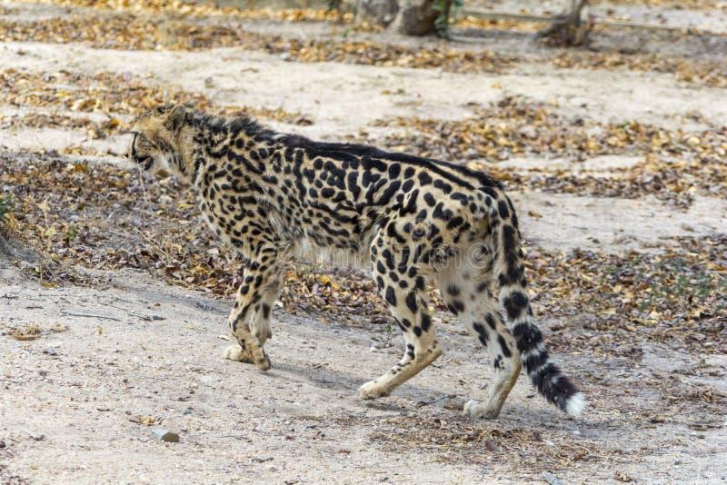 Konung Cheetah i större Kruger nationalpark, Sydafrika royaltyfria foton