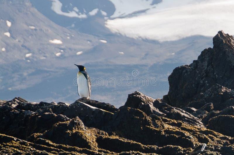Konung Penguin på vakten royaltyfri foto