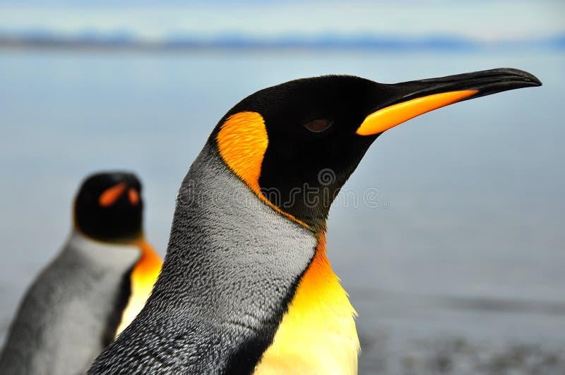 Konung Penguins i Sydamerika royaltyfria foton