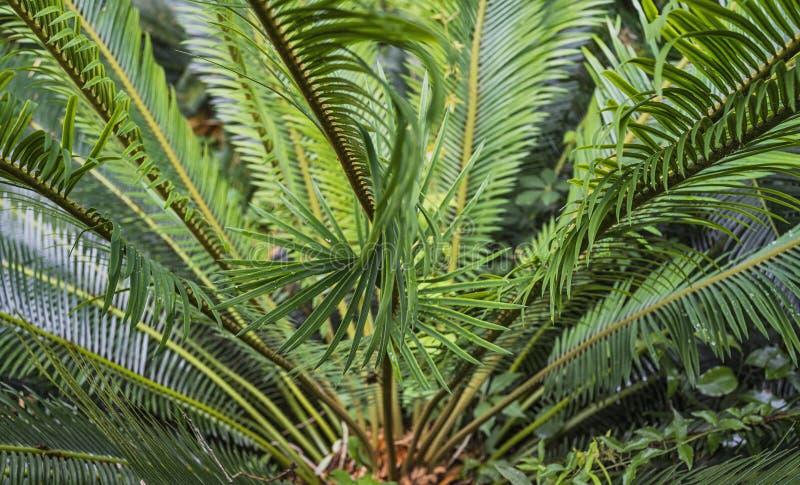 Konung Sago Palm royaltyfri foto