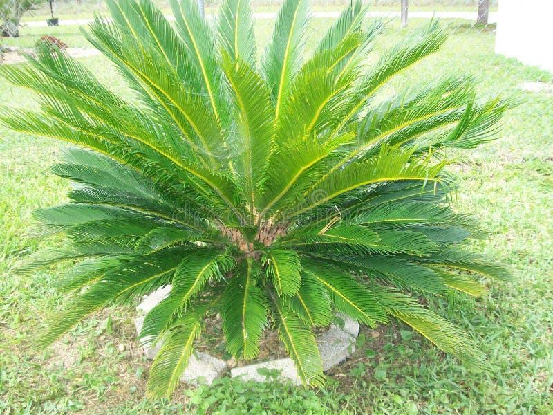 Konung Sago Palm royaltyfria bilder