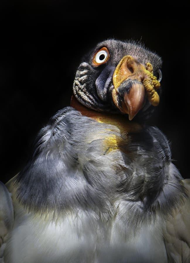 Konung Vulture royaltyfria bilder