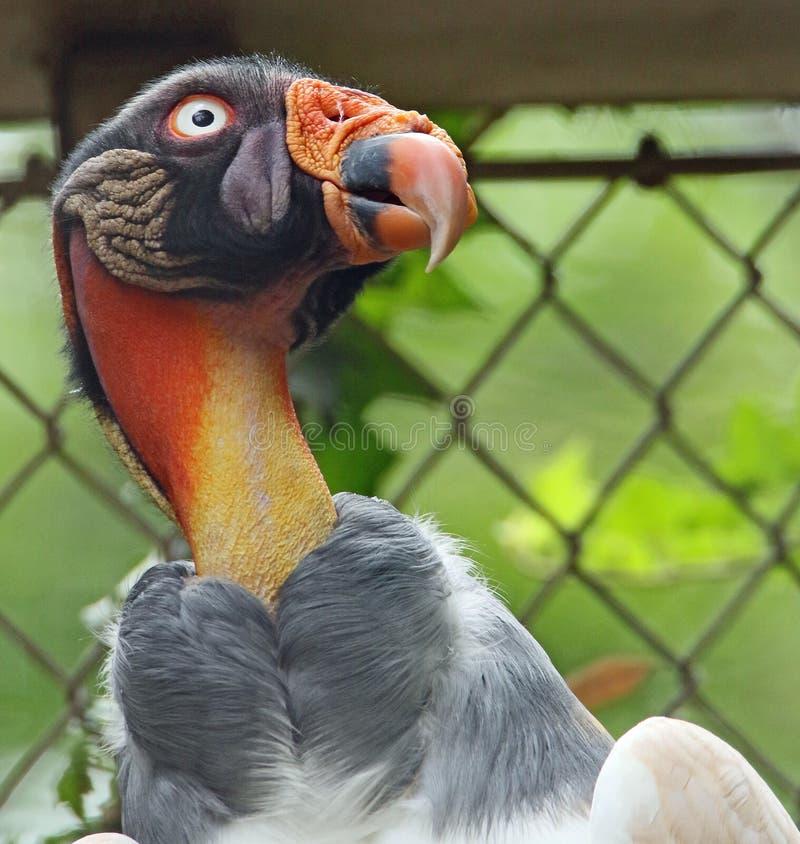 Konung Vulture fotografering för bildbyråer