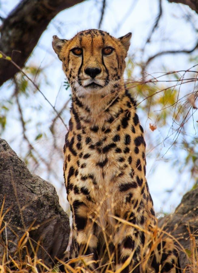 Konungen Cheetah arkivfoton