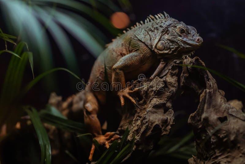 Konungen Iguana arkivbilder