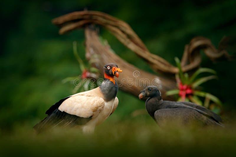 Konunggam, Costa Rica, stor fågel med barn, Sydamerika Djurlivplats från vändkretsnaturen Kondor med det röda huvudet i mörker fo fotografering för bildbyråer