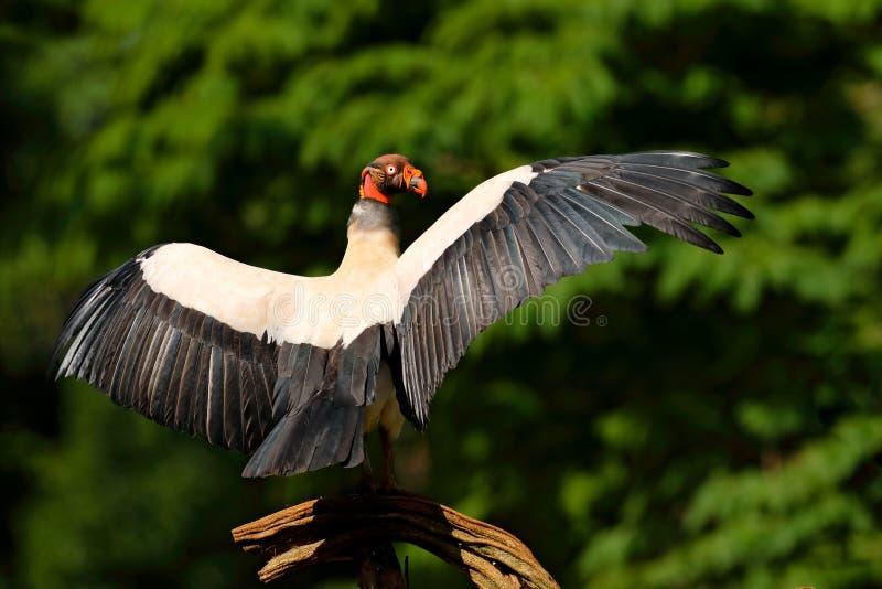 Konunggammet, Costa Rica, den stora fågeln grundar i Sydamerika Djurlivplats från vändkretsnaturen Kondor med det röda huvudet arkivfoto